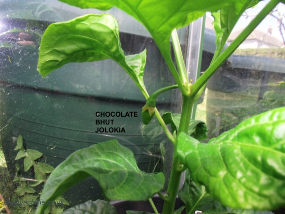 chocolate Bhut