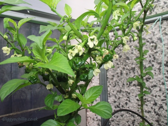 7 pot barrackpore